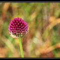 Ail sauvage, Allium sp.
