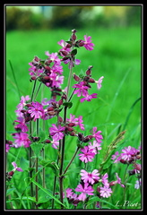 Compagnon rouge, Silene dioica