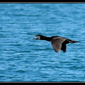 Grand Cormoran Phalacrocorax carbo
